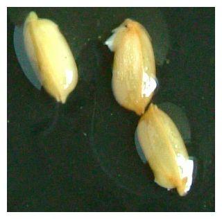 飼料米の発芽
