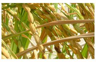 黒く変色している稲の実