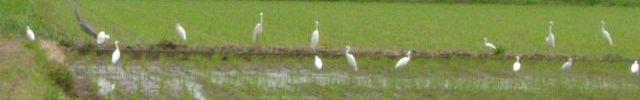 白鷺の群れ (古賀農園の水田 09年7月5日)