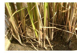 稲k刈り前に水を抜きます。