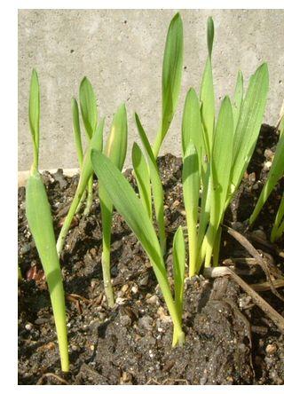 バケツ麦栽培(もち麦)1葉が大きくなっています。