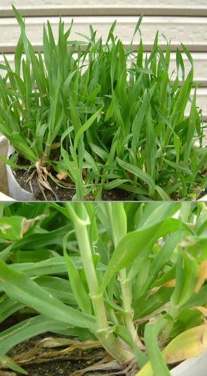 バケツ麦栽培 もち麦がこんなに大きくなりました。