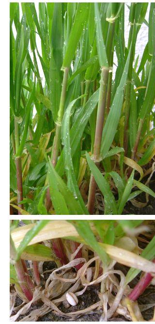 バケツ栽培のもち麦 茎の色が赤紫色です。