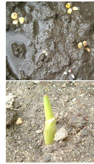 バケツ栽培のとうもろこし 発芽しました!