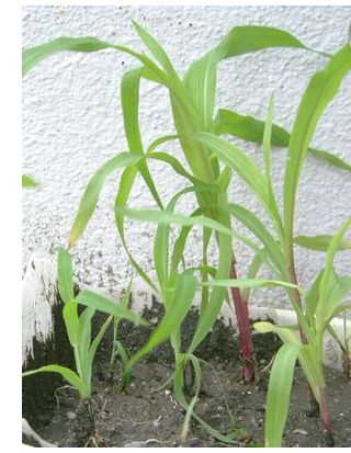 赤い茎のスイートコーンと緑色の茎のもちとうもろこし