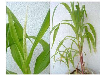 バケツ栽培とうもろこしに雄花が出てきました。