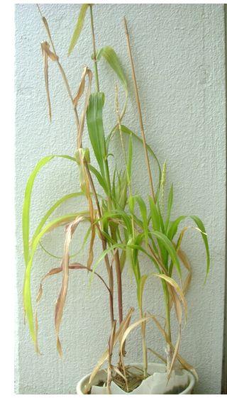 バケツ栽培とうもろこし普通のトウモロコシ(高)もちとうもろこし(低)