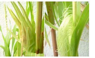 10月15日現在 普通のトウモロコシ(左)もちとうもろこし(右)