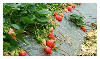 たわわに実の付く苺