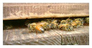 入口に集まっている蜜蜂