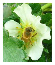 古賀農園の苺ハウスの中の蜜蜂