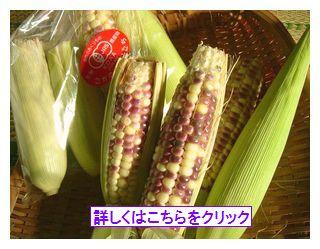 2008年古賀農園 有機無農薬栽培もちきび(もちトウモロコシ)終了しました!たくさんのご購入ありがとうございました!