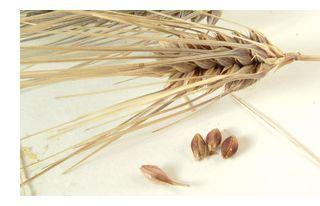 もち麦の穂から種を取り出しました。