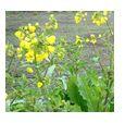 春を告げる菜の花