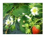 次々と花を咲かせ、実をつける古賀農園の苺