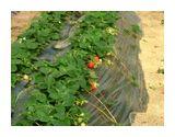 次々と赤く色づく無農薬いちご