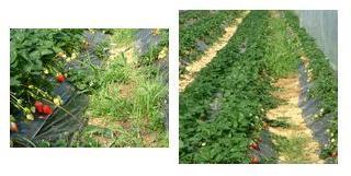除草作業が追いつかない苺畑