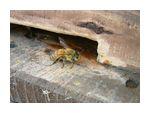 見張りをしている蜜蜂