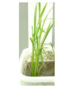 30cnに育った飼料米