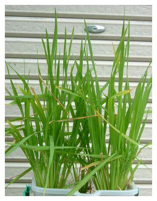 黄色くなった葉が目立つ飼料米