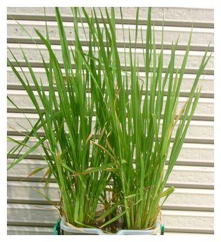 60-70cmに大きくなった飼料米