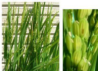 たくさん稲穂がでてきた飼料米