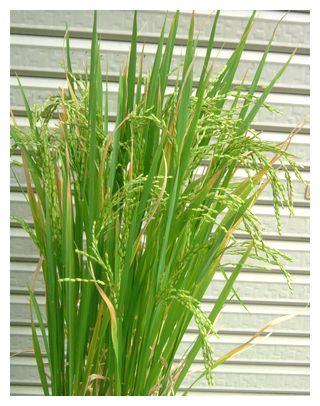 稲穂が垂れてきた飼料米