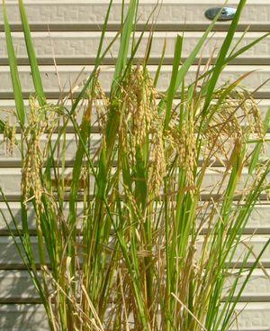 収穫間近の飼料米
