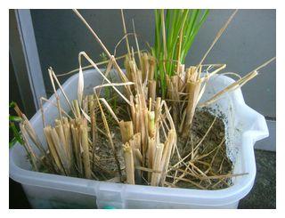 飼料米を刈り取りました。