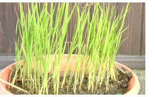 古賀農園から頂いた稲の苗
