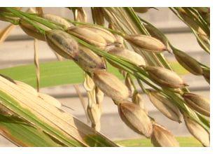 黒米の稲穂は白っぽいです。