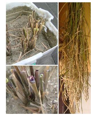 バケツ水田の黒米の稲刈りをしました!