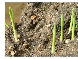 もち麦の芽が日に日に大きくなっています。