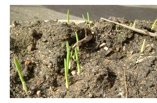 たくさんもち麦の芽がでてきました。