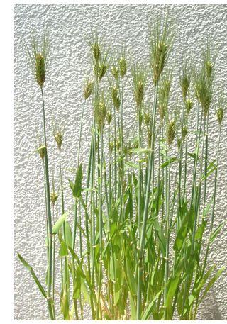 もち麦バケツ栽培 50-60cmの高さです。