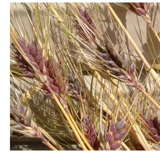 穂一つ分の種からこんなにたくさんのもち麦が実りました!!