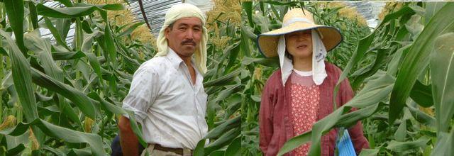 古賀農園のお父ちゃんとお母ちゃん 無農薬とうもろこし収穫中