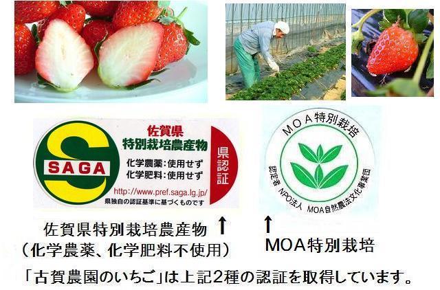 佐賀県産「古賀農園の無農薬いちご」は佐賀県特別栽培農産物(化学農薬、化学肥料不使用)、MOAの特別栽培の認証を取得しています。